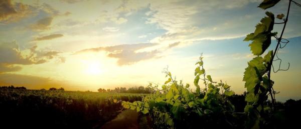csm_In_Baden_-_Da_wo_neue_Weinsorten_wachsen__Foto_Johanssen___0aad014631