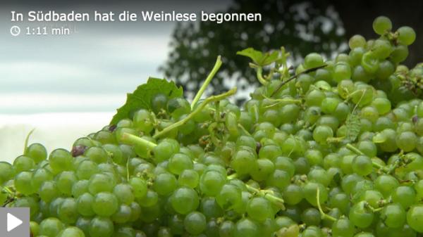 Badischer-Winzerkeller-Breisach-Weinlese-SWR-Aktuell
